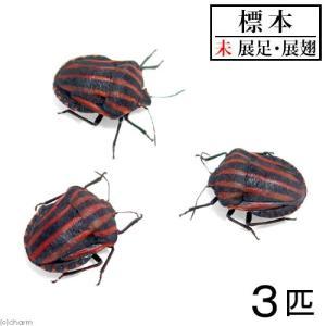 (昆虫)標本 アカスジカメムシ 標本(未展足)(3匹)|chanet