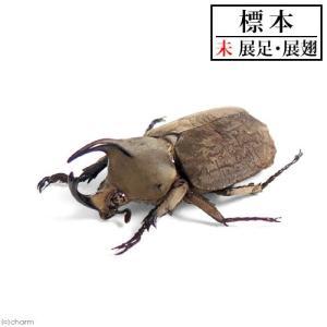 (昆虫)標本 ムニスゼッチコフキカブト(CB) オス単品 標本(未展足)(1匹)|chanet