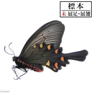 (昆虫)標本 (A〜B品)ジャコウアゲハ(メス)標本(未展翅)(1匹)|chanet
