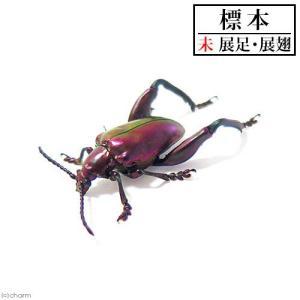 (昆虫)標本 フェモラータオオモモブトハムシ(オス)標本(未展足)(1匹)|chanet