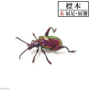 (昆虫)標本 フェモラータオオモモブトハムシ(メス)標本(未展足)(1匹)|chanet