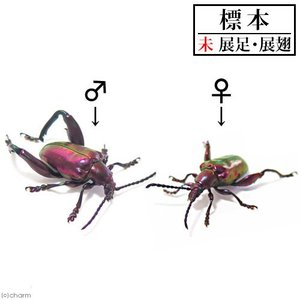 (昆虫)標本 フェモラータオオモモブトハムシ(1ペア)標本(未展足)|chanet