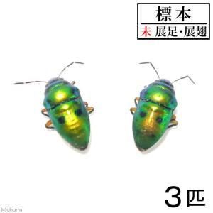 (昆虫)標本 (A〜B品)ミヤコキンカメムシ 標本(未展足)(3匹)|chanet