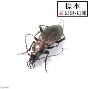 (昆虫)標本 オサムシ Carabus.sp SMサイズ 標本(未展足)(1匹)|chanet