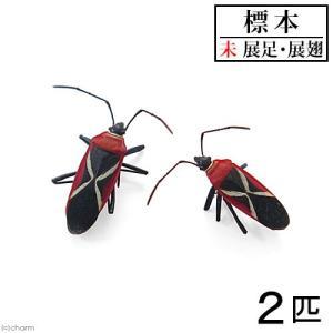 (昆虫)標本 クロジュウジホシカメムシ 標本(未展足)(2匹)|chanet