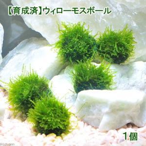 メーカー:草■0〜30 メーカー品番: _wp _aqua 熱帯魚・エビ他 活着する水草(コケの仲間...
