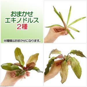 熱帯魚 _aqua new_tonan ech_thai 水草 セット ミックス all_plant...