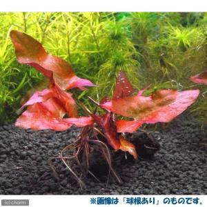 (水草)(新芽あり)タイニムファ 球根(無農薬)(1個)