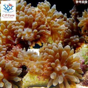 C.P.Farm直送(海水魚 無脊椎)マメサンゴイソギンチャク 6個体(0.08個口相当)別途送料 海水 サンゴ|chanet