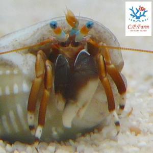 C.P.Farm直送(海水魚 ヤドカリ)石垣島産 スベスベサンゴヤドカリ(殻長約1cm) 10個体(0.08個口相当)別途送料 海水 クリーナー|chanet