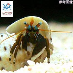 C.P.Farm直送(海水魚 ヤドカリ)石垣島産 スベスベサンゴヤドカリ(殻長1cm以上) 6個体(0.08個口相当)別途送料 海水 クリーナー|chanet