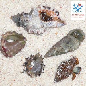 C.P.Farm直送(海水魚 ヤドカリ)石垣島産 サンゴ礁ヤドカリセット(0.08個口相当)別途送料 海水 クリーナー|chanet