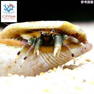 C.P.Farm直送(海水魚 ヤドカリ)石垣島産 ツマジロサンゴヤドカリ 6個体(0.08個口相当)別途送料 海水 クリーナー|chanet