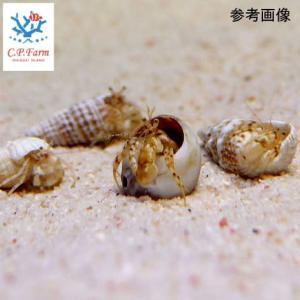 C.P.Farm直送(海水魚 ヤドカリ)石垣島産 ツノヤドカリsp. ベビー 5個体(0.08個口相当)別途送料 海水 クリーナー|chanet