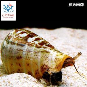 C.P.Farm直送(海水魚 貝)石垣島産 マガキガイ 殻長約5〜6cm 3個体(0.12個口相当)別途送料 海水 クリーナー|chanet