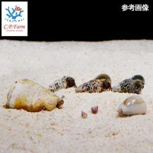 C.P.Farm直送(海水魚 無脊椎)石垣島産おすすめクリーナー・マガキガイセット(貝・ヤドカリ) 30cm水槽用(0.36個口相当)別途送料|chanet