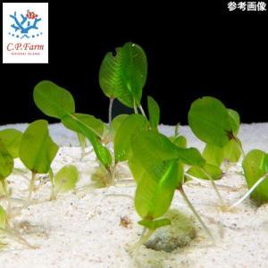 C.P.Farm直送(海水魚 海草)石垣島産 ウミヒルモ ランナー計約1.5m(0.12個口相当)別途送料 海水 海草 chanet