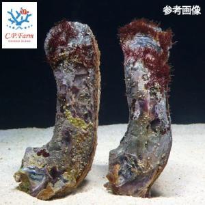 C.P.Farm直送(海水魚 貝)石垣島産 ヒリョウガイ 2個体(0.08個口相当)別途送料 海水 クリーナー|chanet