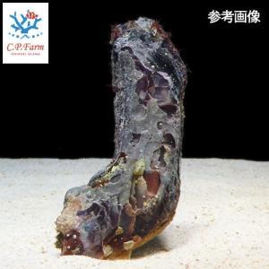 C.P.Farm直送 石垣島産 ヒリョウガイ 3個体(0.12個口相当)別途送料 海水 クリーナー|chanet