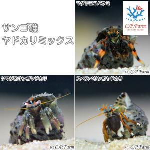 C.P.Farm直送 石垣島産 サンゴ礁ヤドカリミックス 30匹(0.24個口相当)別途送料 海水 サンゴ|chanet