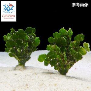 C.P.Farm直送(海水魚 海藻)石垣島産 コサボテングサ 50本(0.48個口相当)別途送料 海水 海草|chanet