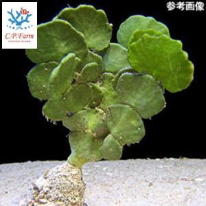 C.P.Farm直送(海水魚 海藻)石垣島産 ヒロハサボテングサ 10本(0.24個口相当)別途送料 海水 海草|chanet