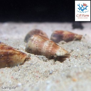 C.P.Farm直送(海水魚 貝)石垣島産 マガキガイ 殻長約4〜5cm 1個体(0.08個口相当)別途送料 海水 クリーナー|chanet
