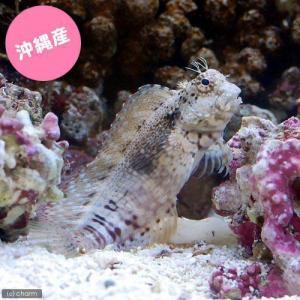 (海水魚)沖縄産 ヤエヤマギンポ(ブレニー) Sサイズ コケの掃除(1匹) 北海道航空便要保温|chanet