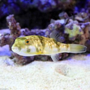 (海水魚 フグ)沖縄産 オキナワフグ Mサイズ(1匹) 北海...