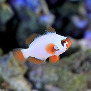 (海水魚)ゴールドナゲットマロン(ブリード)(1匹) 北海道・九州・沖縄航空便要保温 沖縄別途送料|chanet