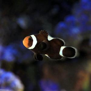 (海水魚)ブラックオセラリス イレギュラーバンド(国産ブリード)(1匹) 北海道航空便要保温 chanet