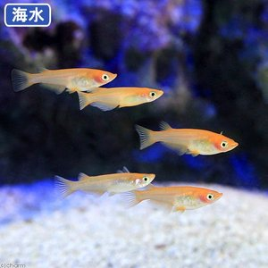 (海水魚)海水メダカ(1匹) 北海道・九州航空便要保温