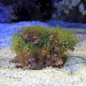 (海水魚 サンゴ)スターポリプ レザー フルグリーン(土台なし) Sサイズ(1個) 北海道・九州航空便要保温 chanet