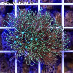 (海水魚 サンゴ)スターポリプ フルグリーン プラグ付き(1個) 北海道航空便要保温 chanet