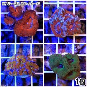 (サンゴ)おまかせオーストラリア産 カクオオトゲキクメイシ ミックスカラー プラグ付き(1個) 北海道・九州航空便要保温|chanet