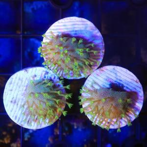 (サンゴ)ウミキノコ グリーン プラグ付き(1個) 北海道航空便要保温