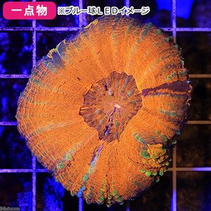 (海水魚 サンゴ)一点物 オーストラリア産 スコリミア CM−11421(1個) 沖縄別途送料 北海道・九州航空便要保温