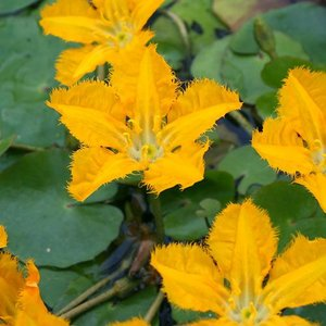 (ビオトープ)水辺植物 アサザ 夕日(1ポット)