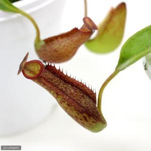 (食虫植物)ウツボカズラ ネペンテス ジェントル 3号(1ポット)北海道冬季発送不可|chanet