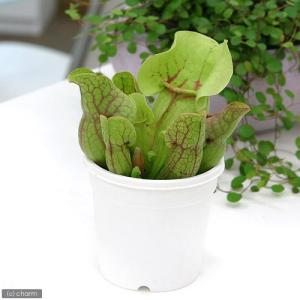 (食虫植物)サラセニア プルプレアssp.ベノーサ 3号(1ポット)...