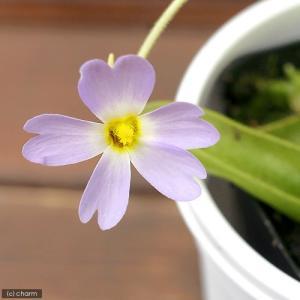 (食虫植物)ムシトリスミレ ピンギキュラ プリムリフローラ 3号(1ポット)|chanet