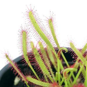 (食虫植物)アフリカナガバモウセンゴケ(ドロセラ カペンシス) 赤花 3号(1ポット)|chanet