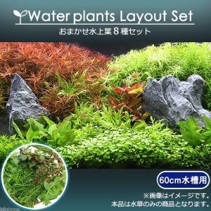 (水草)おまかせ水上葉 レイアウトセット 60cm水槽用 8種(無農薬)(1パック)(水草説明書付) 熱帯魚|chanet