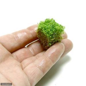 (水草)キューバパールグラス(水上葉) キューブタイプSサイズ(約2cm)(無農薬)(1個) 北海道...