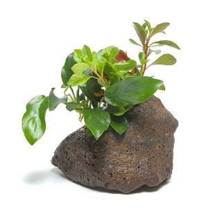 (水草)Plants Arrangement ザ ボンサイ Ver.アヌビアスナナ(1個) 北海道航空便要保温|chanet