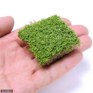 (水草)キューバパールグラス(水上葉) キューブタイプLサイズ(約4cm)(無農薬)(1個) 北海道...