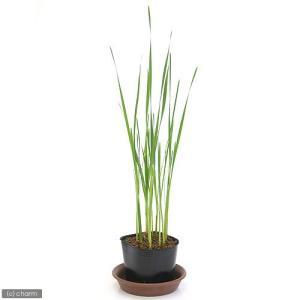 (ビオトープ/水辺植物)コガマ(1ポット分)