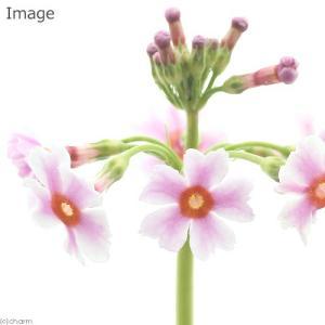 (ビオトープ/水辺植物)クリンソウ 花色おまかせ (1ポット分)