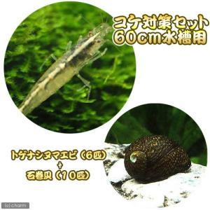 (エビ・貝)コケ対策セット 60cm水槽用 トゲナシヌマエビ(6匹) + 石巻貝(10匹) 北海道・...
