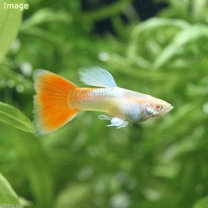メーカー:■25〜30 メーカー品番: リアルレッドアイアルビノ 熱帯魚・エビ他 グッピー 系統で選...